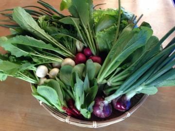 レタス、かぶ、赤かぶ、玉ねぎ、赤玉ねぎ、水菜、小松菜、チンゲン菜、唐辛子、フキ